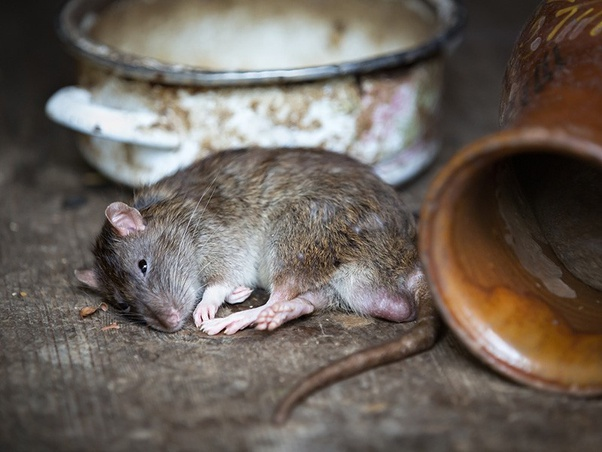 Rats and Mice Prevention Tips