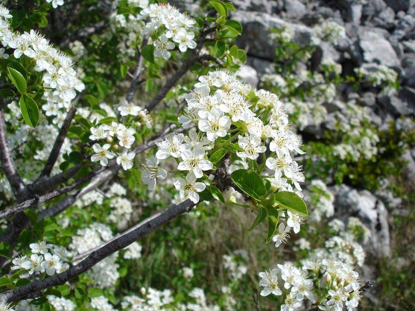 Benefits of Prunus Mahaleb